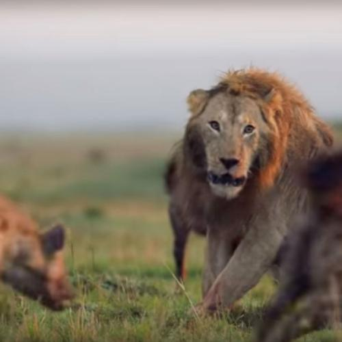 This Lion Taking On 20 Hyenas Is The Nature Video Of 2018