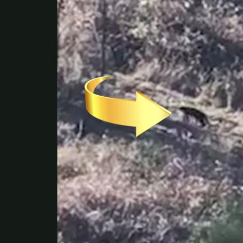 Is This Video Of The Blue Mountain's Panther?