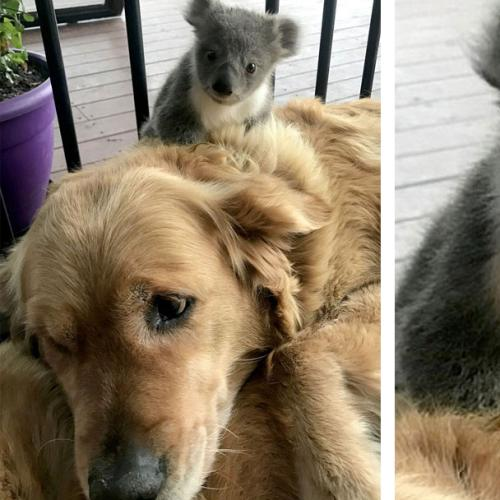Gorgeous Golden Retriever Saves Abandoned Baby Koala