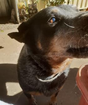 http://Buddy%20is%20an%2011%20year%20old%20blue%20cattle.%20He%20us%20a%20rescue%20dog%20and%20the%20biggest%20sook.