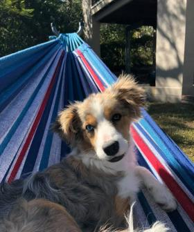 http://It's%20a%20dogs%20life.%20Indie%20our%20blue%20Merle%20tri%20border%20collie%20chillin%20in%20the%20hammock
