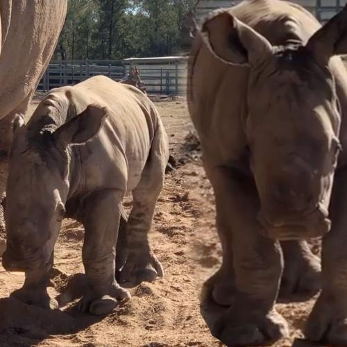 Adorable White Rhino Born At Dubbo's Taronga Western Plains Zoo