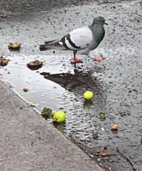 Irish Locals Warned To Look Out For Drunk Pigeons