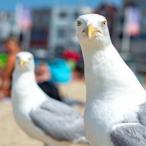 Man Escapes Arrest After Seagull Snatches His Marijuana Stash