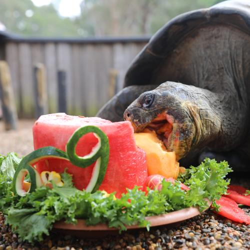 Hugo The Galapagos Tortoise Celebrates Its 69th Birthday With A Cake Smash!