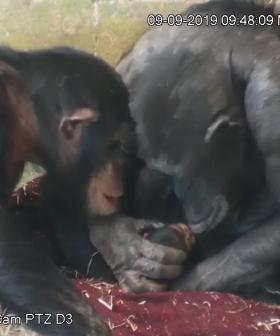 Chimpanzee Mum So In Love With Her Newborn At Aussie Zoo