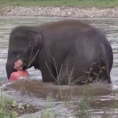 The Heartwarming Moment A Baby Elephant Rushes To Save Man From Drowning