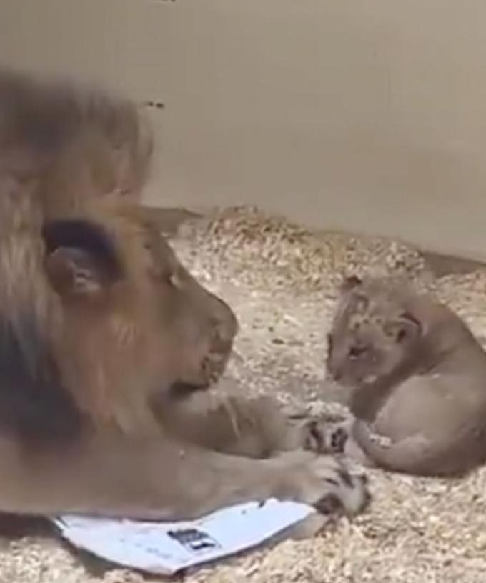 Tatu Baby Father Name: The Heartwarming Moment A Lion Crouches Down To Meet His