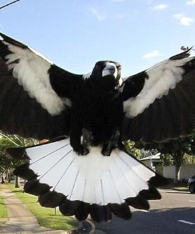 Magpie Swooping Season Has Arrived: Here's How To Avoid Being Attacked