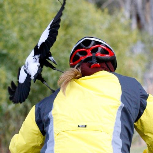 Sydney's 'Monster Magpie' Shot Dead After Multiple Attacks