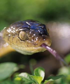 Snake Season Has Arrived Early In NSW