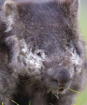 Dr Chris Brown's Incredible Venture To Save Our Wombats