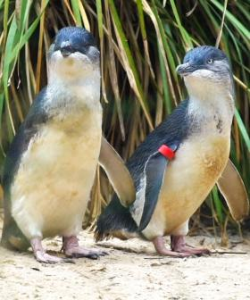 Nauj The One-Flippered Penguin Becomes A Dad