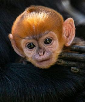 """The """"Incredibly Rare"""" Baby Monkey That Has Stolen Everybody's Hearts"""