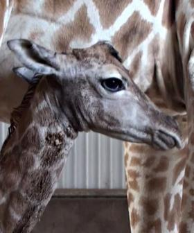 Aussie Zoo Welcomes Baby Giraffe And He's Absolutely Gorgeous