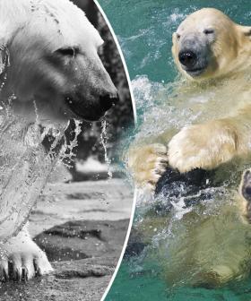 Lyutyik The Ailing Polar Bear Dies Age 19