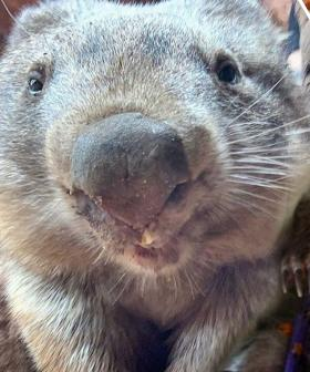 It's World Wombat Day So Let Us Introduce You To Our Favourite, Ringo!