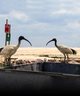 Why We're Seeing More Bin Chickens In Our Aussie Cities