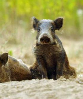 Feral Pigs Snuffle Out $30K Cocaine Stash In Italy