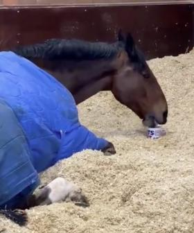 British Police Horse Refuses To Get Up For Work Until He Has A Cup Of Tea