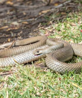 Four Week Old Baby Bitten Multiple Times By Snake In Australia