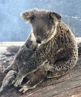 Koala And Joey Found Clinging To Branch In Bushfire Nursed Back To Health
