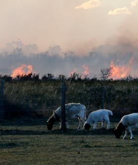 NSW Farmers Count Livestock Losses Into The Thousands