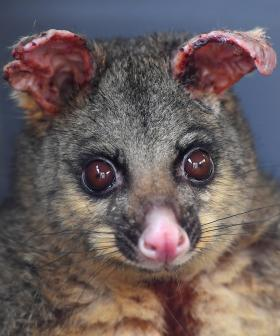 NSW Fire-Affected Possums Given Biscuits