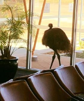 An Emu Broke Into An Airport And The Pictures Need To Be Seen