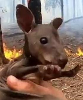 The Touching Moment A Volunteer Firefighter Rescues A Joey From The Flames