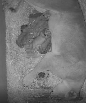 Aussie Zoo Welcomes Four New Lion Cubs