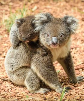 """Shocking"": NSW Koala Bushfire Death Toll Increases Dramatically"
