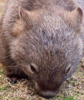 200 Wombats Saved From Planned Cull