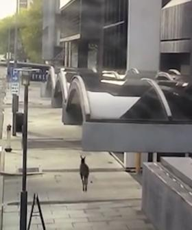 WATCH: A Lost Roo Hopping Through The City On A Quiet Sunday Afternoon