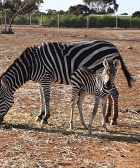 This Baby Zebra Is The Cutest Bundle Of Stripy Joy!