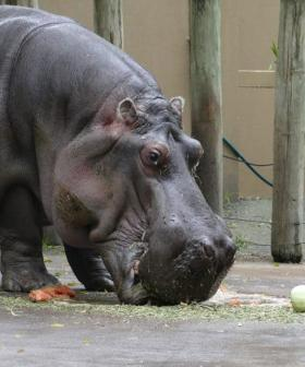 Australia's Oldest Hippo Has Sadly Died, At Age 54
