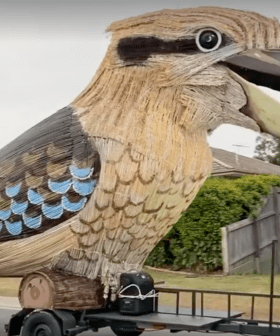 Huge Kookaburra Laughs Its Way Down Aussie Streets On Its Voyage North