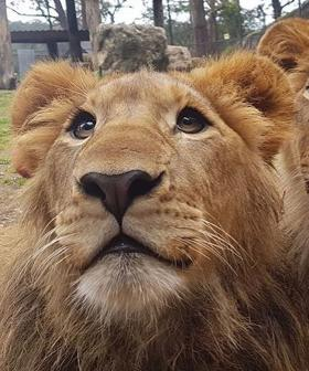 Lions In NSW Zoo Attack Won't Be Put Down
