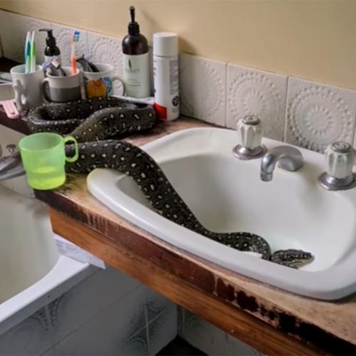 NSW Family Finds Massive Diamond Python In Their Bathroom Sink