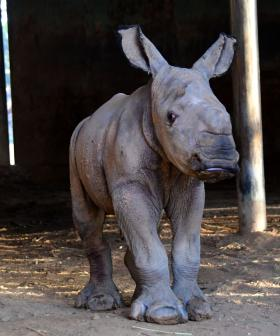 Aussie Zoo Welcomes New Baby Rhino And It's So Cute!
