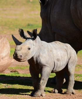 You Have To See This Baby Rhino Do Zoomies With Her Mum!