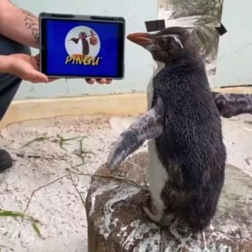 Aussie Zoo Penguin 'Pierre' Has Been Binge-Watching Pingu And Honestly, We Needed This