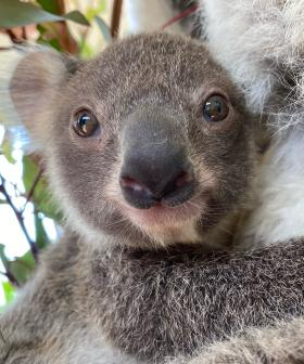 Adorable Baby Koala At Sydney Zoo Has Been Given The CUTEST Name!