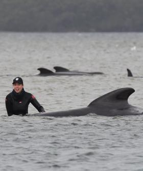 Race To Save Surviving Whales In Tasmania