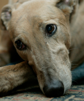 Greyhound Adoption Day Is Going Ahead This Year Online, So You Can Zoom Your New Furry Friend!