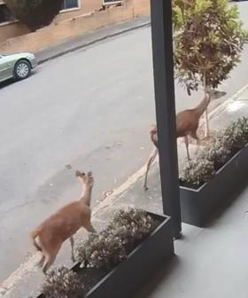 Two Deer Spotted On The Loose In Sydney's Inner West