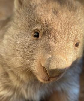 Did You Know That You Can Help Our Wombats By Drinking Wine?