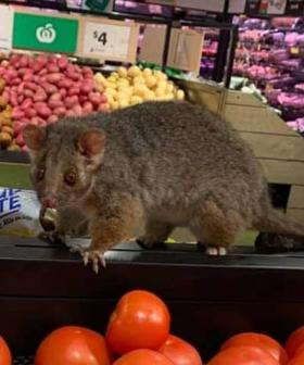 Two Cheeky Possums Gatecrash Sydney Woolworths Store
