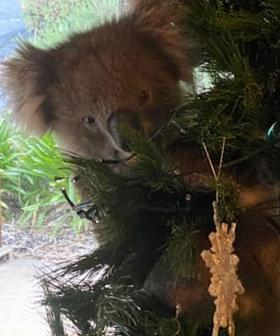 Aussie Woman Finds Koala Making Itself At Home In Christmas Tree