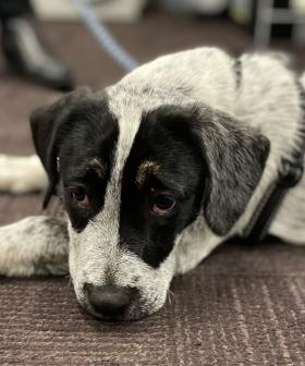 Speck The Cattle Dog Reunites With Owner Almost 300km Away From NSW Home